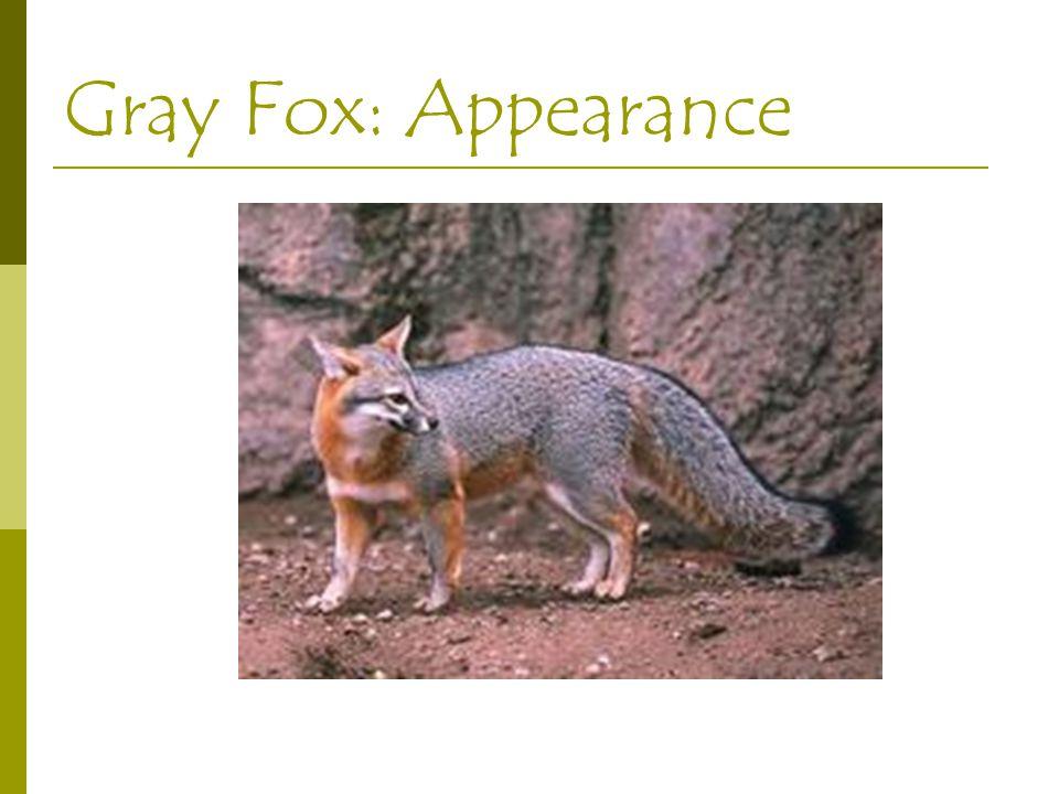 Gray Fox: Appearance