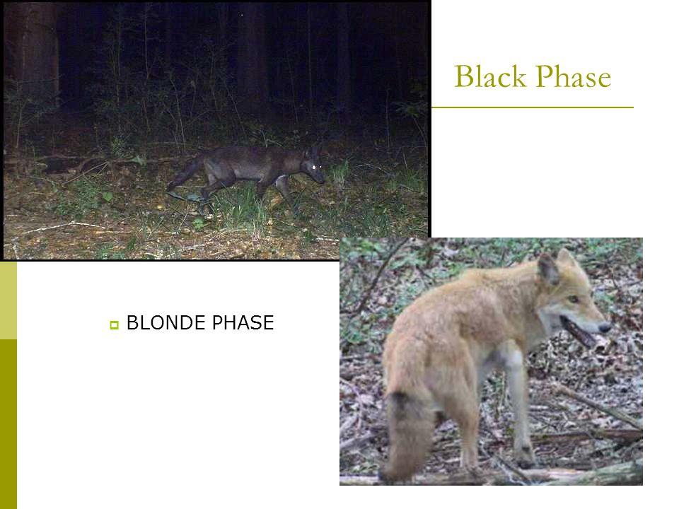 Black Phase  BLONDE PHASE