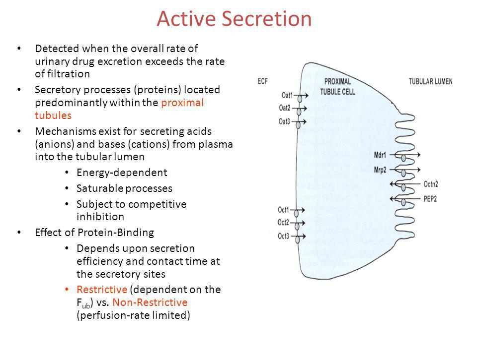 Active Secretion Detected when the overall rate of urinary drug excretion exceeds the rate of filtration Secretory processes (proteins) located predom