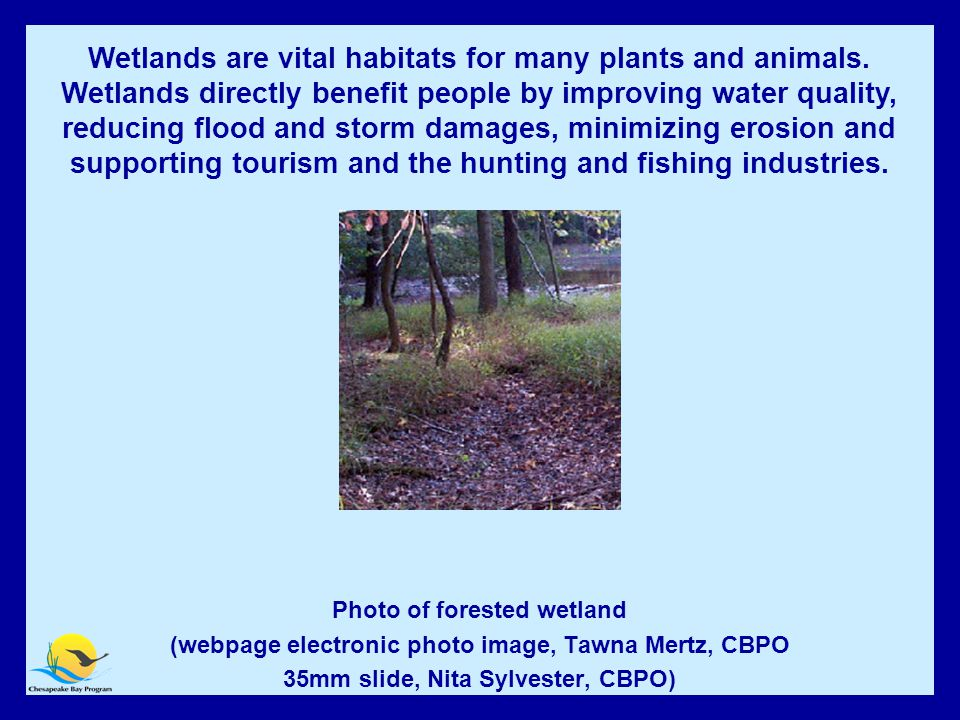 Wetlands Photo of forested wetland (webpage electronic photo image, Tawna Mertz, CBPO 35mm slide, Nita Sylvester, CBPO) Wetlands are vital habitats for many plants and animals.