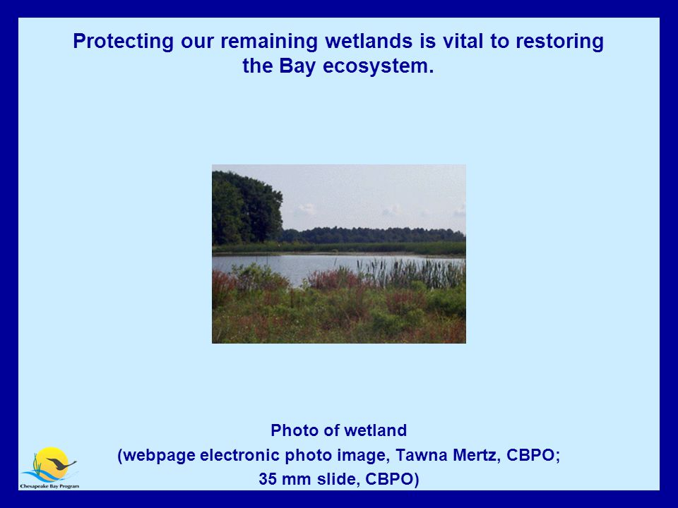 Wetlands Protection Photo of wetland (webpage electronic photo image, Tawna Mertz, CBPO; 35 mm slide, CBPO) Protecting our remaining wetlands is vital to restoring the Bay ecosystem.
