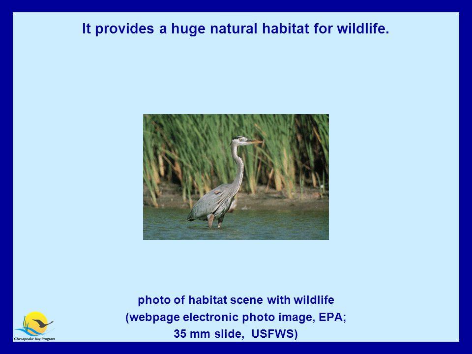 The Bay Provides Important Habitat for Wildlife photo of habitat scene with wildlife (webpage electronic photo image, EPA; 35 mm slide, USFWS) It provides a huge natural habitat for wildlife.