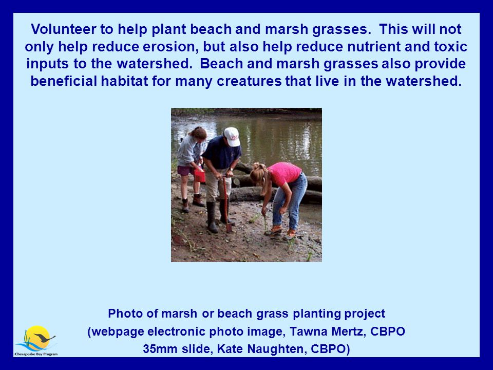 Volunteer to Help Plant Beach and Marsh Grasses.