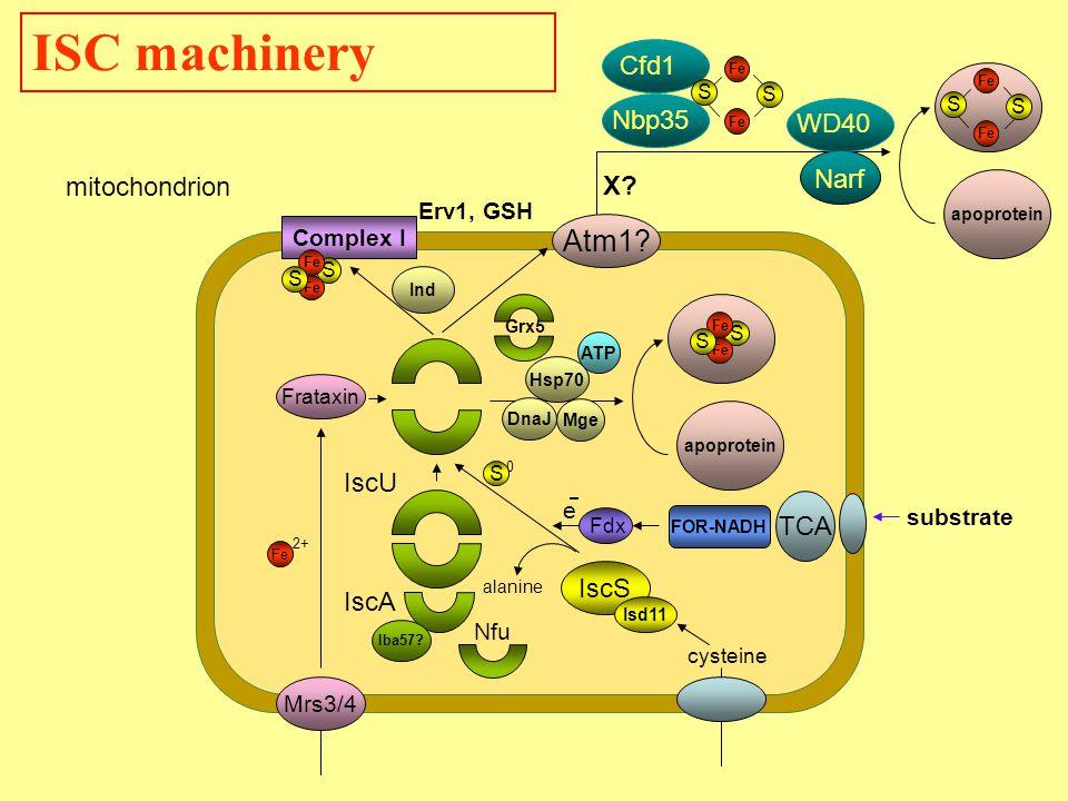 Mrs3/4 IscS Isd11 Frataxin Atm1.