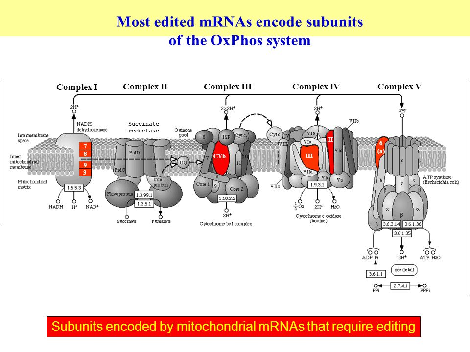 CYb III II Complex I Complex IIComplex IIIComplex IVComplex V 6 (a) 3 7 8 9 Most edited mRNAs encode subunits of the OxPhos system Subunits encoded by mitochondrial mRNAs that require editing Succinate reductase