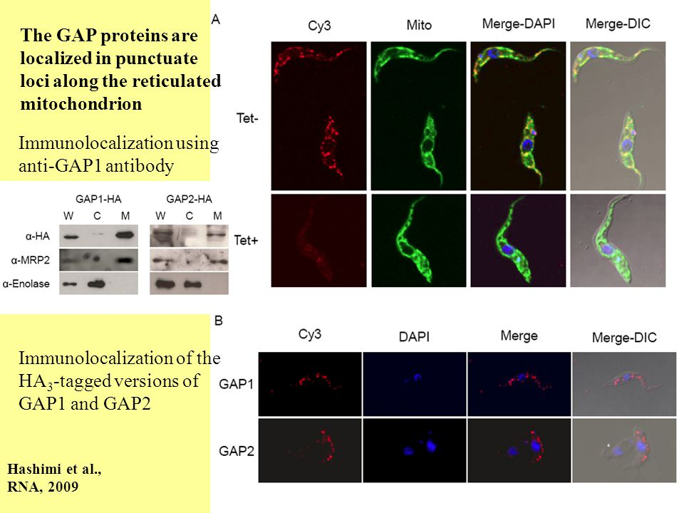 The GAP proteins are localized in punctuate loci along the reticulated mitochondrion Immunolocalization using anti-GAP1 antibody Immunolocalization of the HA 3 -tagged versions of GAP1 and GAP2 Hashimi et al., RNA, 2009
