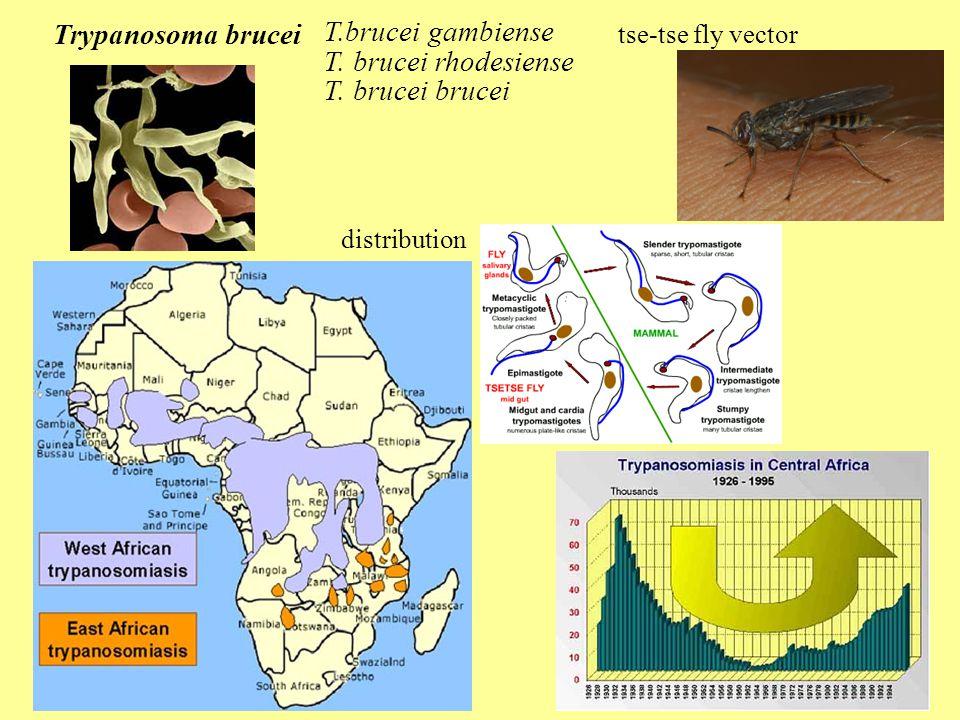 Trypanosoma brucei T.brucei gambiense T. brucei rhodesiense T.