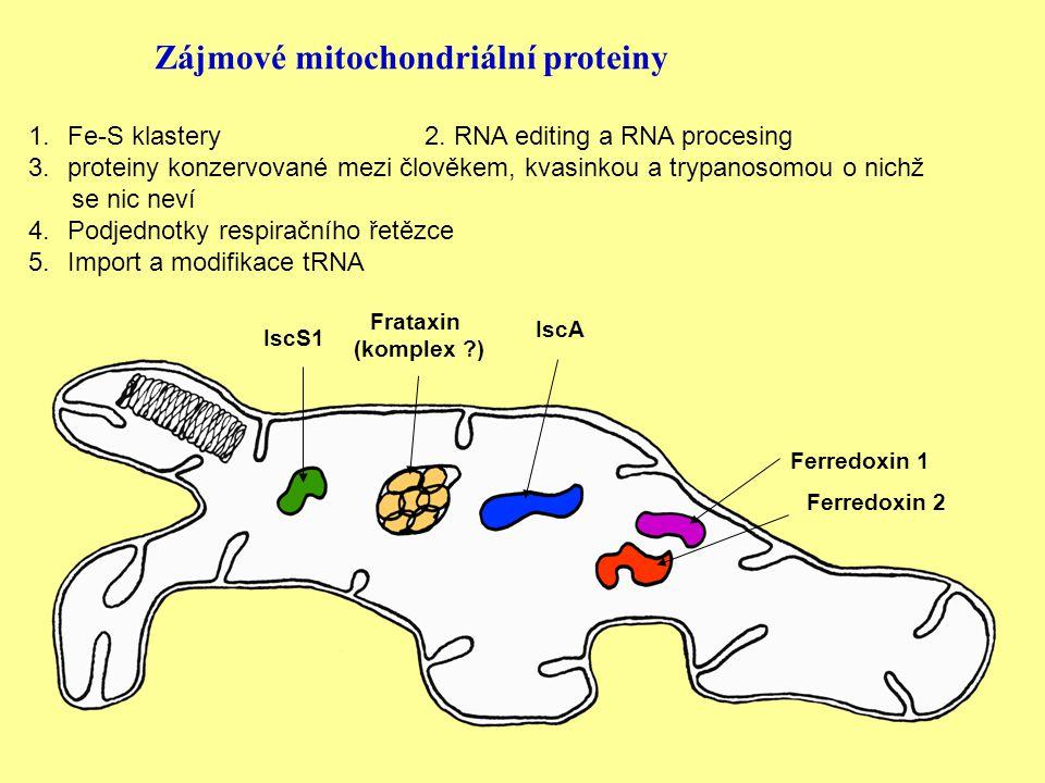IscS1 Frataxin (komplex ) IscA Ferredoxin 1 Ferredoxin 2 Zájmové mitochondriální proteiny 1.Fe-S klastery 2.