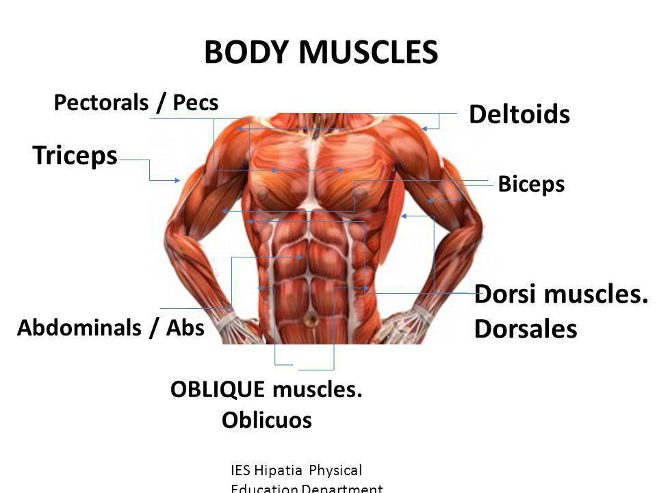 Deltoids Abdominals / Abs Triceps Pectorals / Pecs OBLIQUE muscles. Oblicuos Biceps BODY MUSCLES Dorsi muscles. Dorsales IES Hipatia Physical Educatio