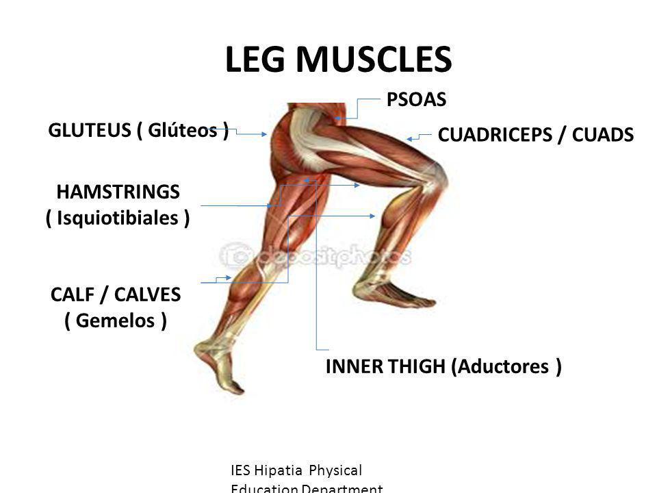 LEG MUSCLES GLUTEUS ( Glúteos ) HAMSTRINGS ( Isquiotibiales ) CALF / CALVES ( Gemelos ) CUADRICEPS / CUADS INNER THIGH (Aductores ) IES Hipatia Physic