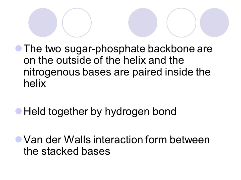The two sugar-phosphate backbone are on the outside of the helix and the nitrogenous bases are paired inside the helix Held together by hydrogen bond