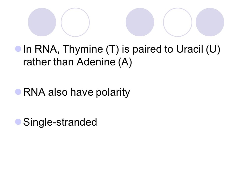 In RNA, Thymine (T) is paired to Uracil (U) rather than Adenine (A) RNA also have polarity Single-stranded
