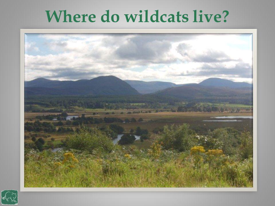 Where do wildcats live?