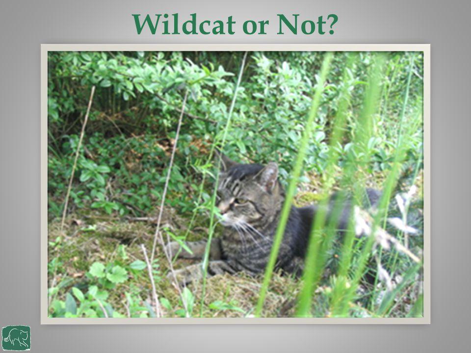 Wildcat or Not?