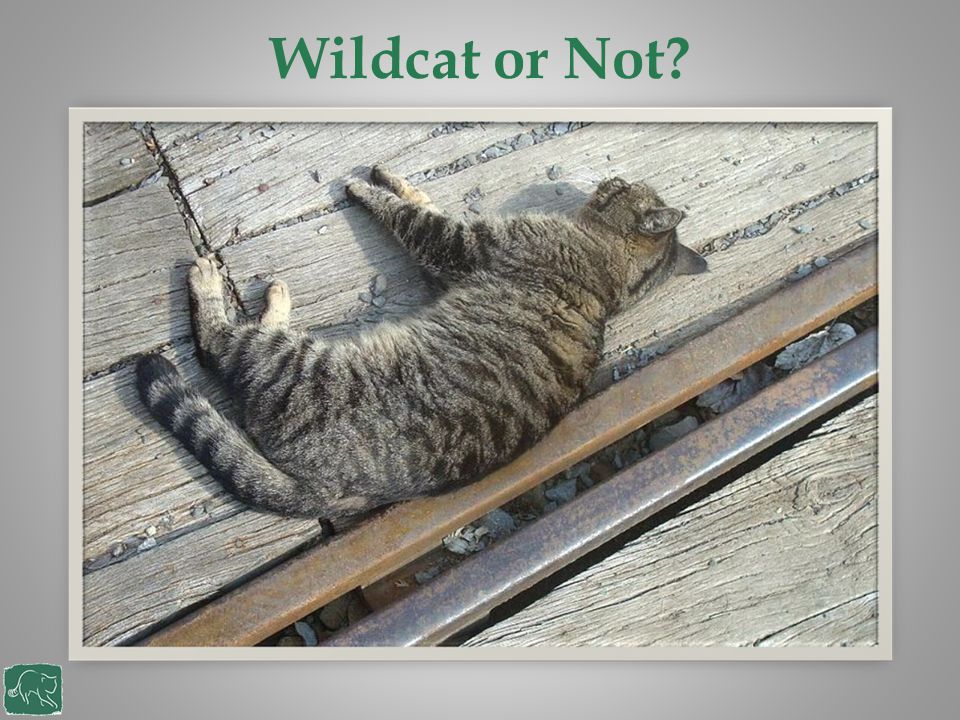 What are the problems for wildcats Historically found throughout the UK Deforestation Hunting Persecution Scattered, small populations Road fatalities Disease Hybridisation