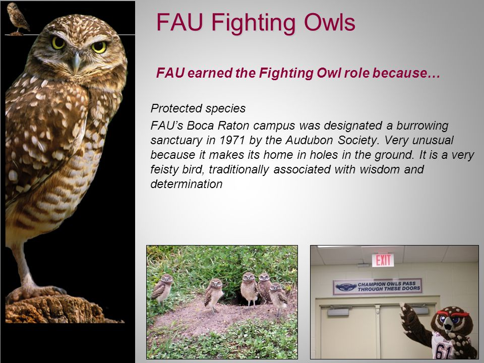 Protected species FAU's Boca Raton campus was designated a burrowing sanctuary in 1971 by the Audubon Society.