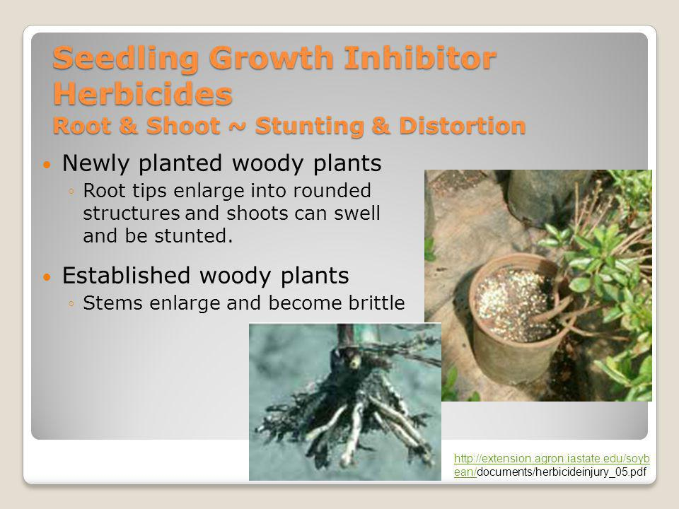 Seedling Growth Inhibitor Herbicides Root & Shoot ~ Stunting & Distortion Newly planted woody plants ◦Root tips enlarge into rounded structures and sh
