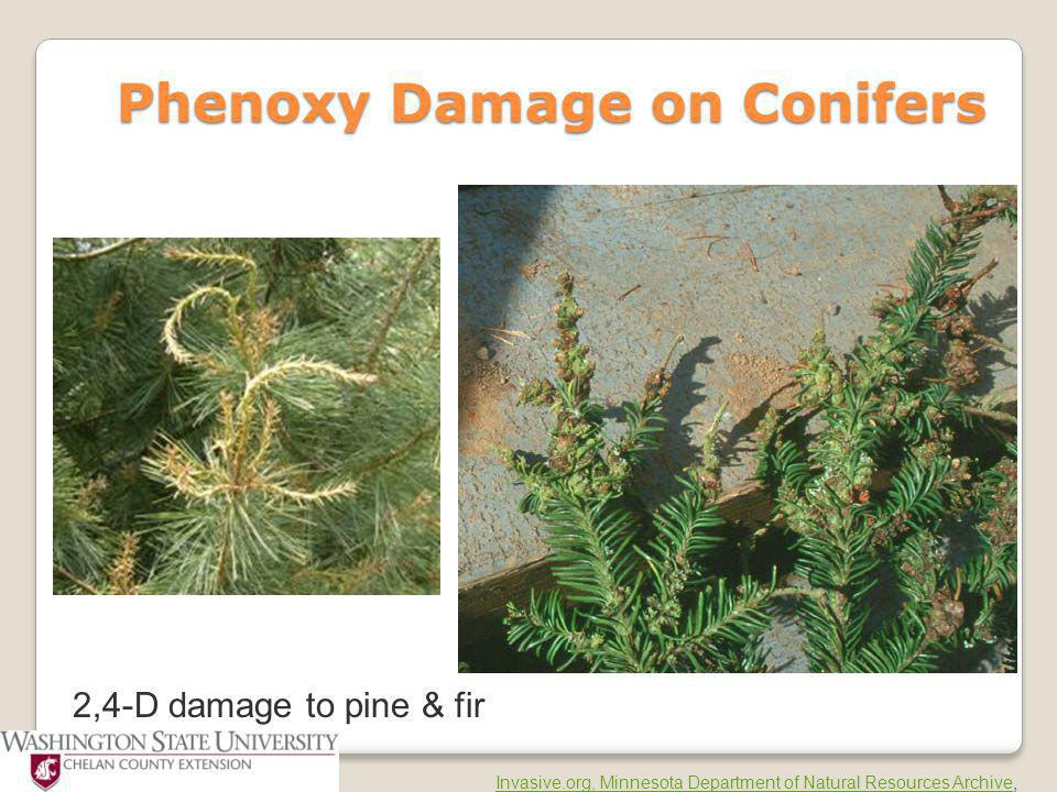 Phenoxy Damage on Conifers Phenoxy Damage on Conifers 2,4-D damage to pine & fir Invasive.org, Minnesota Department of Natural Resources ArchiveInvasi