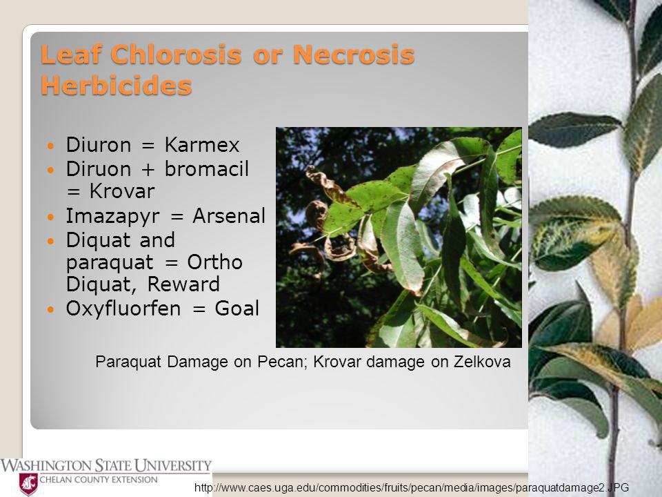 Diuron = Karmex Diruon + bromacil = Krovar Imazapyr = Arsenal Diquat and paraquat = Ortho Diquat, Reward Oxyfluorfen = Goal Paraquat Damage on Pecan; Krovar damage on Zelkova http://www.caes.uga.edu/commodities/fruits/pecan/media/images/paraquatdamage2.JPG Leaf Chlorosis or Necrosis Herbicides