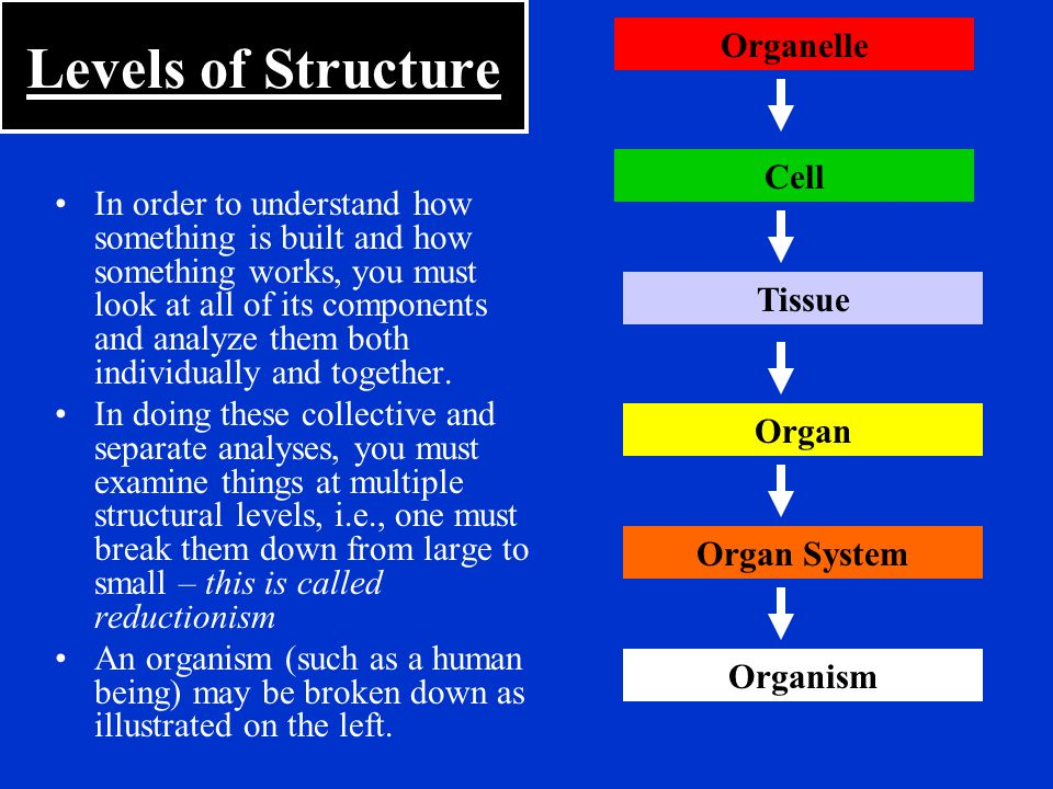 Endocrine System Structures: –Hormone-secreting glands Pituitary, Thyroid, Thymus, Pineal, Parathyroid, Adrenal, Pancreas, Small Intestine, Stomach, Testes, Ovaries, Kidneys, Heart Functions: –Long-term control system of the body –Regulates growth, reproduction, and nutrient use among other things.