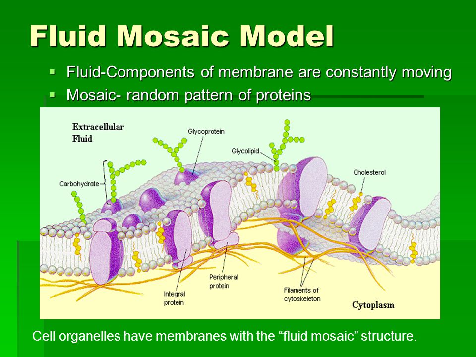 Fluid Mosaic Model  Fluid-Components of membrane are constantly moving  Mosaic- random pattern of proteins Cell organelles have membranes with the fluid mosaic structure.