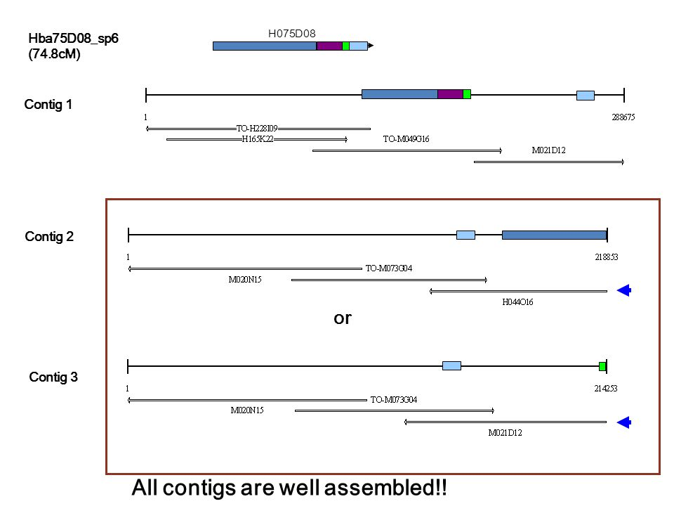 H075D08 or Hba75D08_sp6 (74.8cM) Contig 1 Contig 2 Contig 3 All contigs are well assembled!!