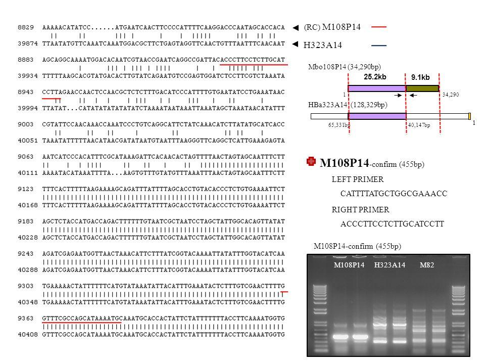 (RC) M108P14 H323A14 M108P14-confirm (455bp) M108P14H323A14 M108P14 -confirm (455bp) CATTTTATGCTGGCGAAACC LEFT PRIMER ACCCTTCCTCTTGCATCCTT RIGHT PRIMER M82 Mbo108P14 (34,290bp) HBa323A14 (128,329bp) 65,331bp 1 40,147bp 1 9.1kb 25.2kb 34,290
