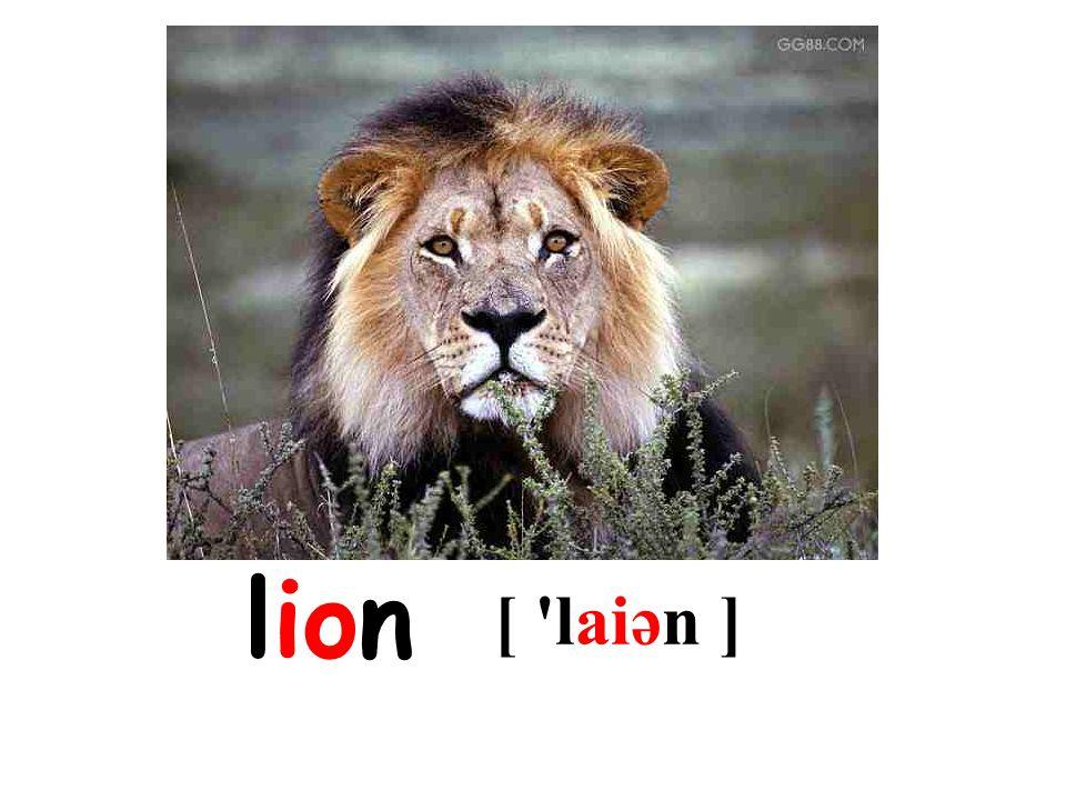 lion [ laiən ]