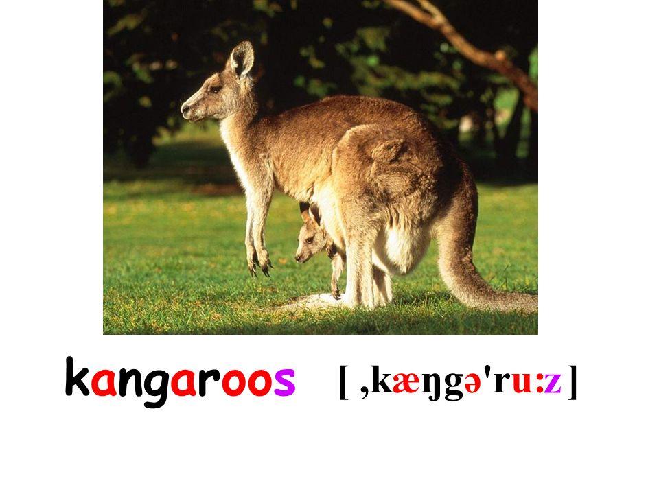 kangaroo [,kæŋgə ru: ] s z