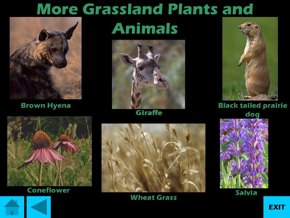 Location:Every continent except Antarctica Description:Grasslands are big open spaces.