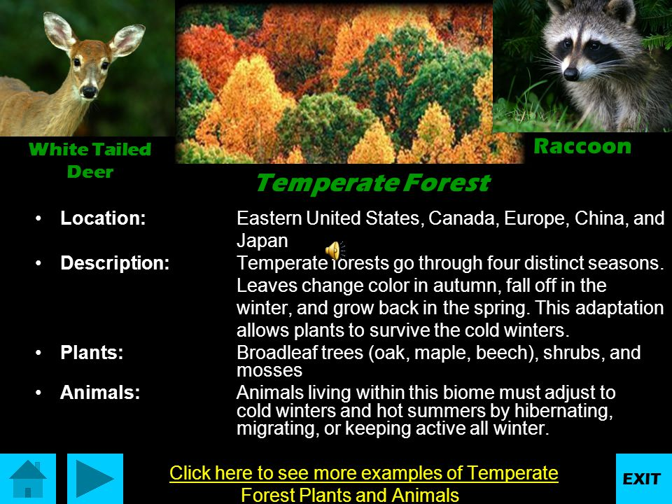 More Taiga Animals and Plants Lynx WolverineRed Throated Loon Hemlock Larch Needles Lichen growing on a tree EXIT