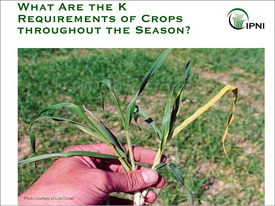 What Are the K Requirements of Crops throughout the Season? Photo courtesy of Lyle Cowell