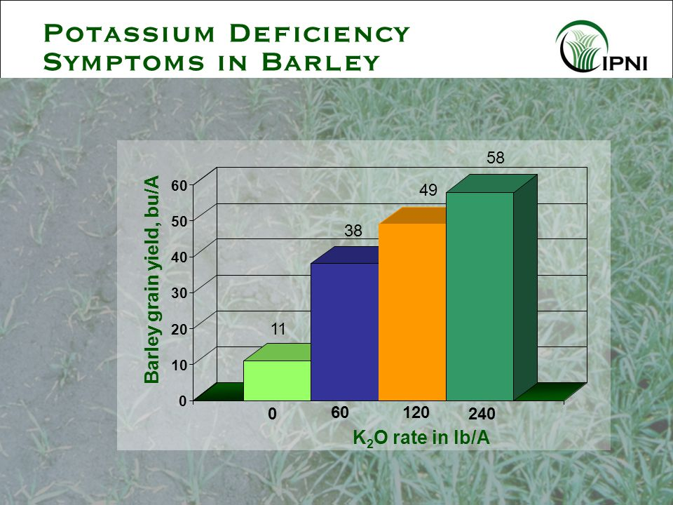 Potassium Deficiency Symptoms in Barley 11 38 49 58 0 60120 240 0 10 20 30 40 50 60 Barley grain yield, bu/A K 2 O rate in lb/A