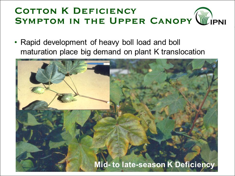 Mid- to late-season K Deficiency Cotton K Deficiency Symptom in the Upper Canopy Rapid development of heavy boll load and boll maturation place big demand on plant K translocation