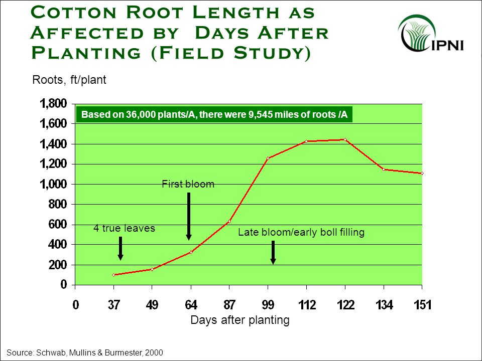 Cotton Root Length as Affected by Days After Planting (Field Study) Source: Schwab, Mullins & Burmester, 2000 Roots, ft/plant Days after planting 4 true leaves First bloom Late bloom/early boll filling Based on 36,000 plants/A, there were 9,545 miles of roots /A