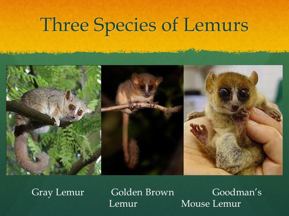 Three Species of Lemurs Gray Lemur Golden Brown Goodman's LemurMouse Lemur