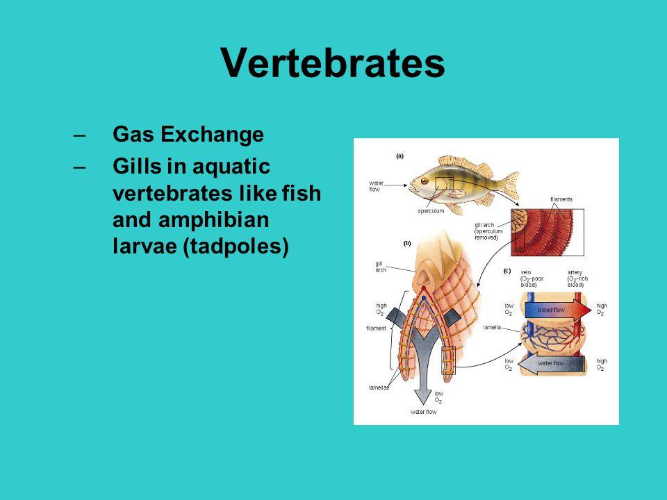 Vertebrates –Gas Exchange –Gills in aquatic vertebrates like fish and amphibian larvae (tadpoles)