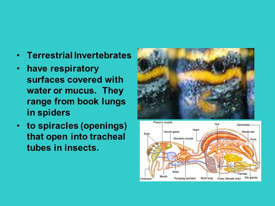 Terrestrial Invertebrates have respiratory surfaces covered with water or mucus. They range from book lungs in spiders to spiracles (openings) that op