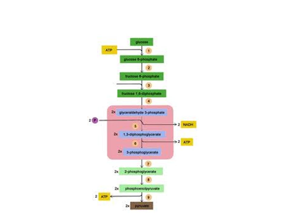b.Pyruvate is transported from the cytoplasm to the mitochondrion, where further oxidation occurs.