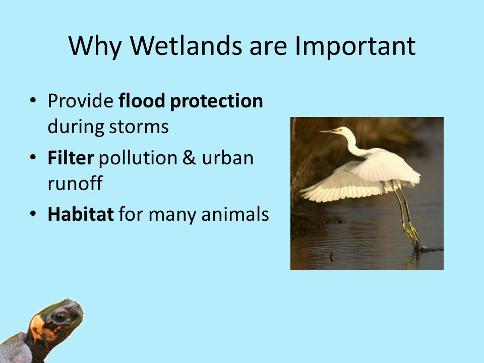 Why Wetlands are Important Provide flood protection during storms Filter pollution & urban runoff Habitat for many animals