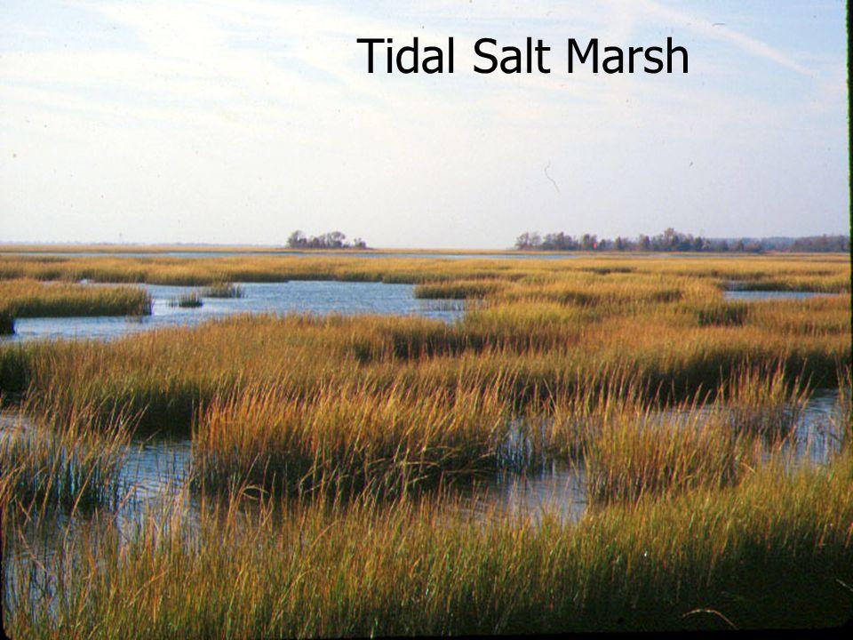 January 2002 Tidal Salt Marsh