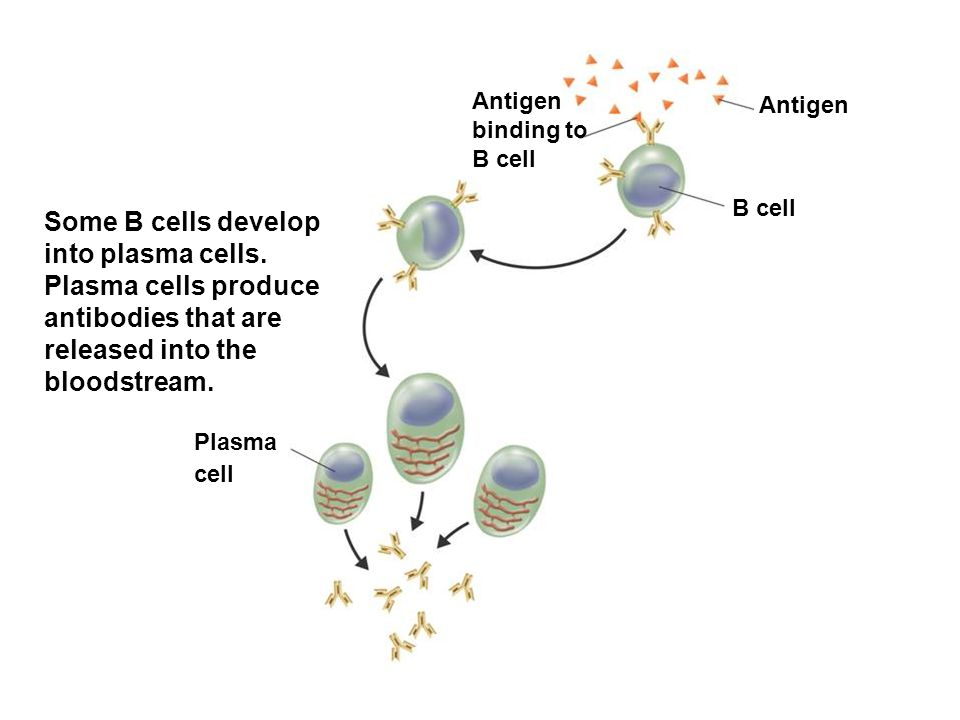Antigen Antigen binding to B cell B cell Plasma cell Some B cells develop into plasma cells. Plasma cells produce antibodies that are released into th