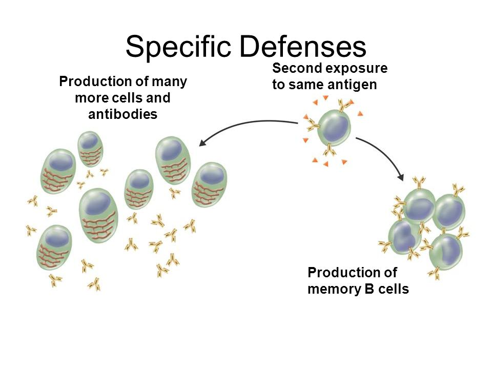 Specific Defenses Production of many more cells and antibodies Second exposure to same antigen Production of memory B cells