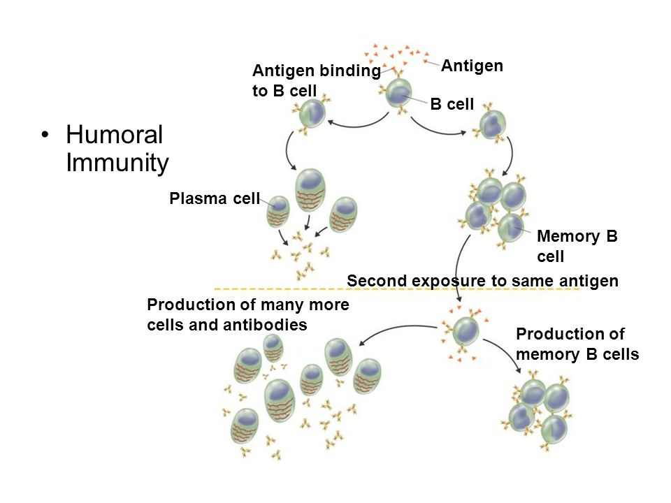Humoral Immunity Memory B cell Antigen Antigen binding to B cell B cell Plasma cell Production of many more cells and antibodies Second exposure to sa