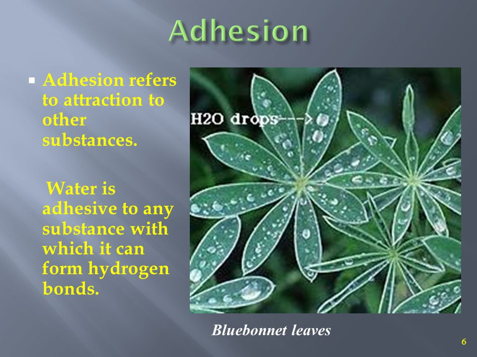 7 water evaporates from leaves = transpiration adhesion, cohesion and capillary action All thanks to hydrogen bonding.