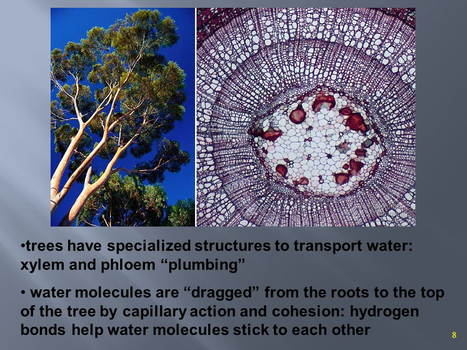 8 trees have specialized structures to transport water: xylem and phloem plumbing water molecules are dragged from the roots to the top of the tree by capillary action and cohesion: hydrogen bonds help water molecules stick to each other