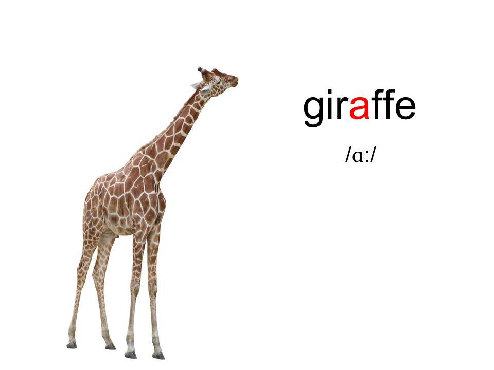 giraffe / ɑ :/