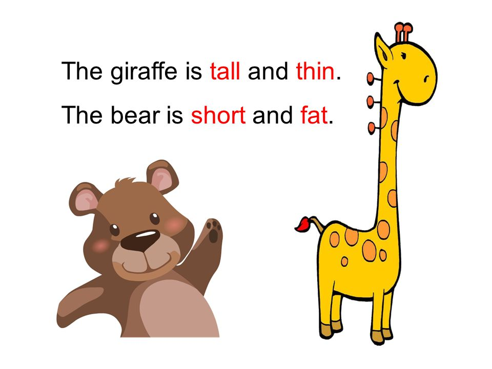The giraffe is tall and thin. The bear is short and fat.