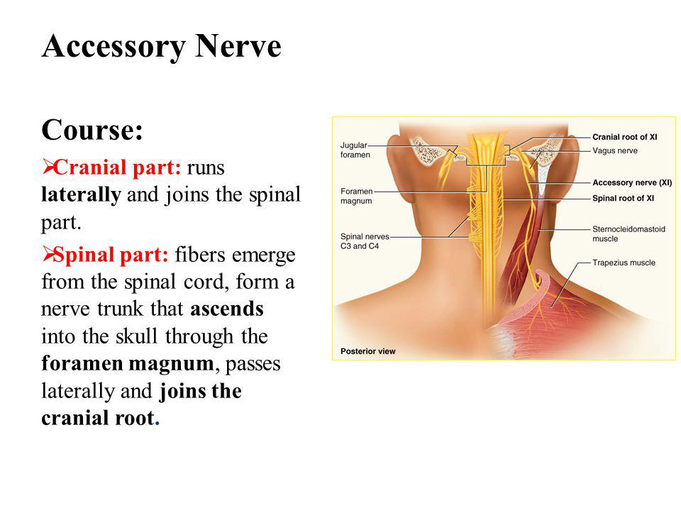 Accessory Nerve Course:  Cranial part: runs laterally and joins the spinal part.  Spinal part: fibers emerge from the spinal cord, form a nerve trun