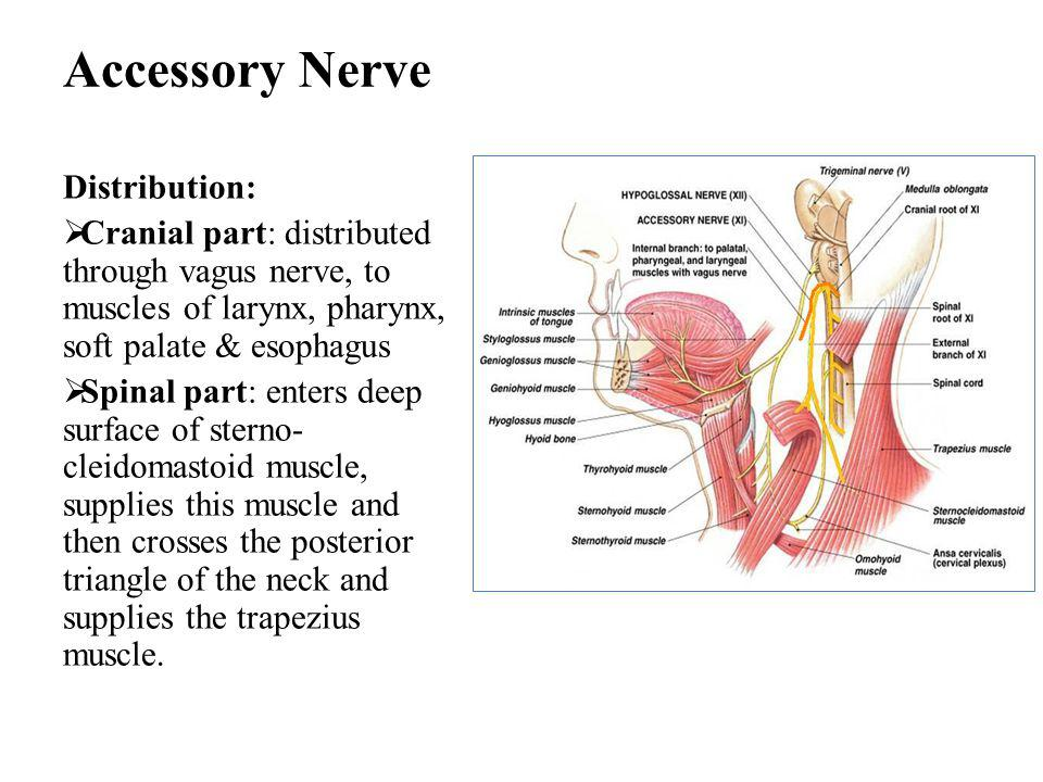 Accessory Nerve Distribution:  Cranial part: distributed through vagus nerve, to muscles of larynx, pharynx, soft palate & esophagus  Spinal part: enters deep surface of sterno- cleidomastoid muscle, supplies this muscle and then crosses the posterior triangle of the neck and supplies the trapezius muscle.